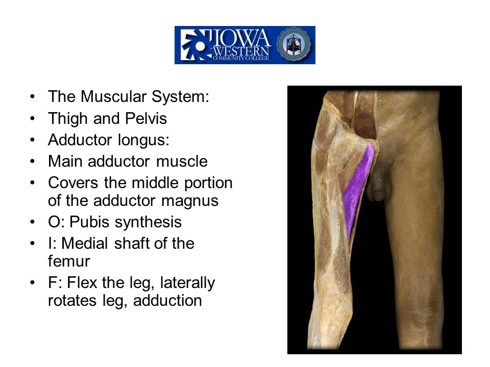 The Muscular System: Thigh and Pelvis. Adductor longus: Main adductor muscle. Covers the middle portion of the adductor magnus.
