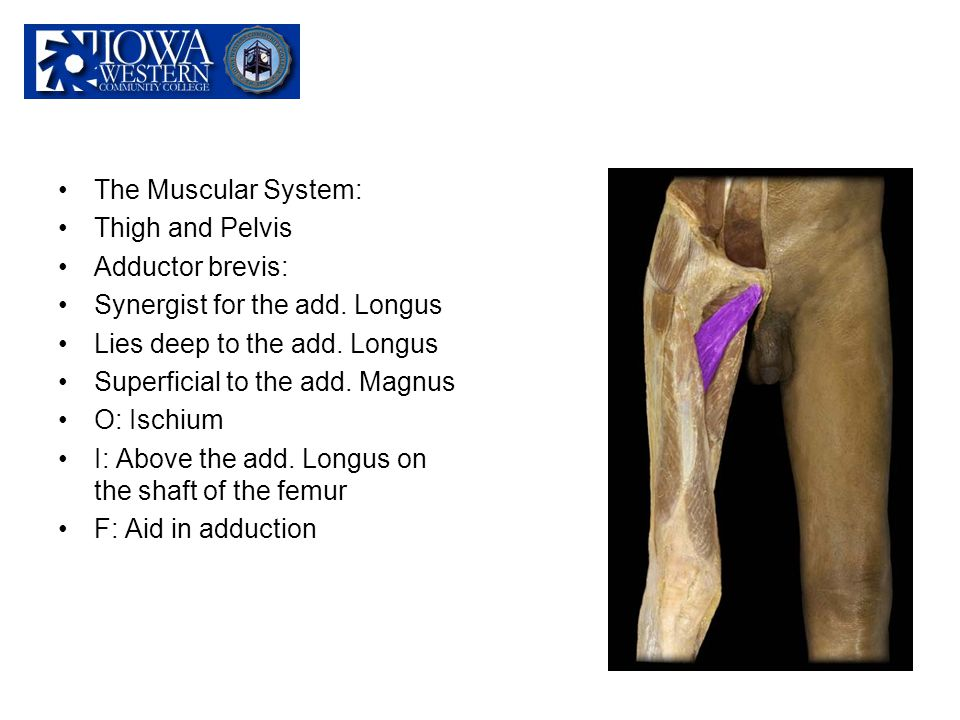 The Muscular System: Thigh and Pelvis. Adductor brevis: Synergist for the add. Longus. Lies deep to the add. Longus.