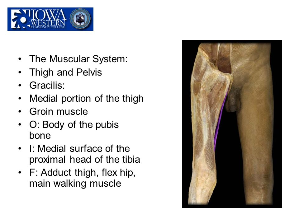 The Muscular System: Thigh and Pelvis. Gracilis: Medial portion of the thigh. Groin muscle. O: Body of the pubis bone.