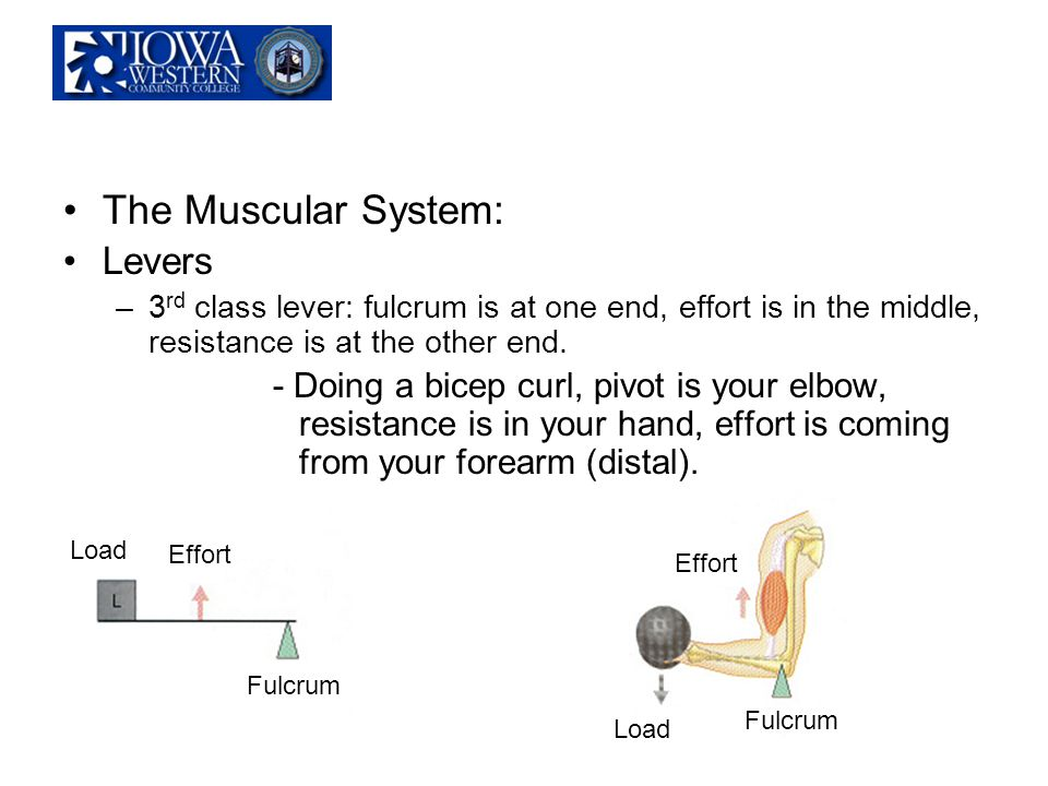 The Muscular System: Levers