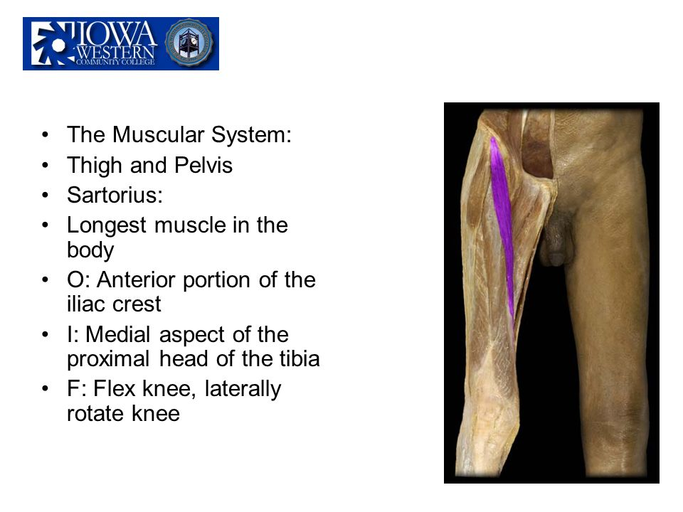 The Muscular System: Thigh and Pelvis. Sartorius: Longest muscle in the body. O: Anterior portion of the iliac crest.