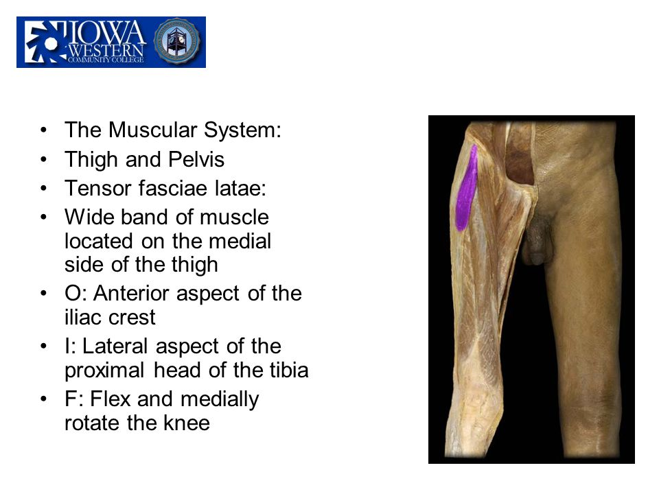 The Muscular System: Thigh and Pelvis. Tensor fasciae latae: Wide band of muscle located on the medial side of the thigh.