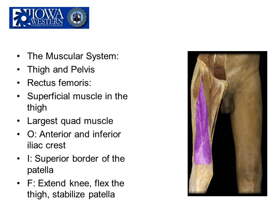 The Muscular System: Thigh and Pelvis. Rectus femoris: Superficial muscle in the thigh. Largest quad muscle.