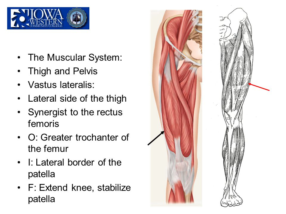 The Muscular System: Thigh and Pelvis. Vastus lateralis: Lateral side of the thigh. Synergist to the rectus femoris.