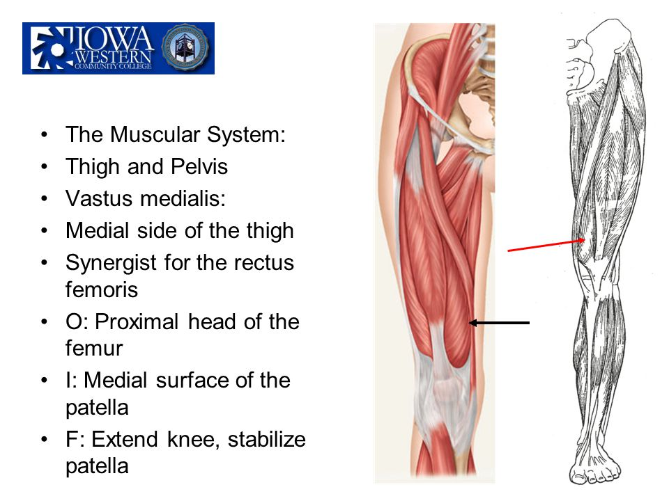 The Muscular System: Thigh and Pelvis. Vastus medialis: Medial side of the thigh. Synergist for the rectus femoris.