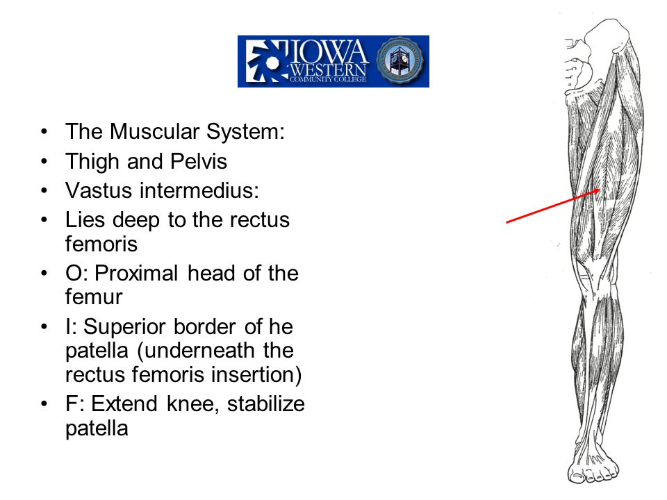 The Muscular System: Thigh and Pelvis. Vastus intermedius: Lies deep to the rectus femoris. O: Proximal head of the femur.