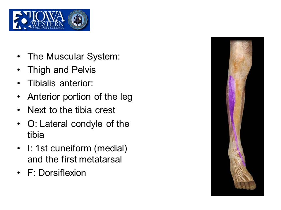 The Muscular System: Thigh and Pelvis. Tibialis anterior: Anterior portion of the leg. Next to the tibia crest.