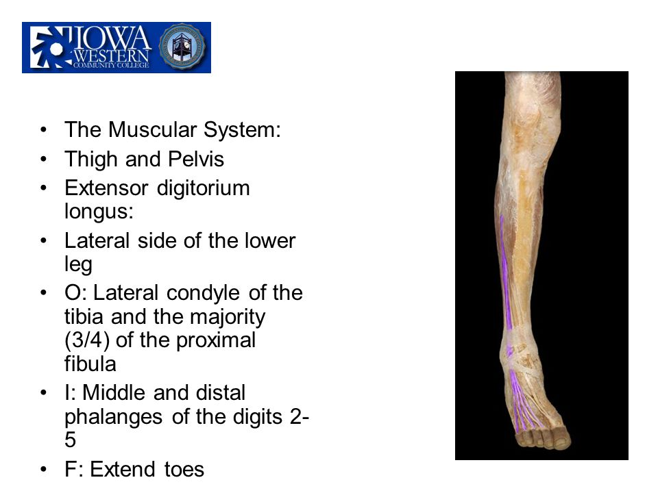 The Muscular System: Thigh and Pelvis. Extensor digitorium longus: Lateral side of the lower leg.