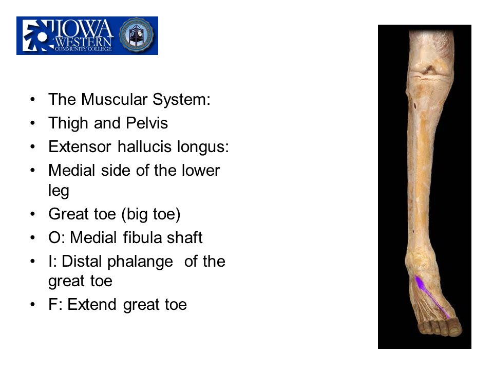 The Muscular System: Thigh and Pelvis. Extensor hallucis longus: Medial side of the lower leg. Great toe (big toe)
