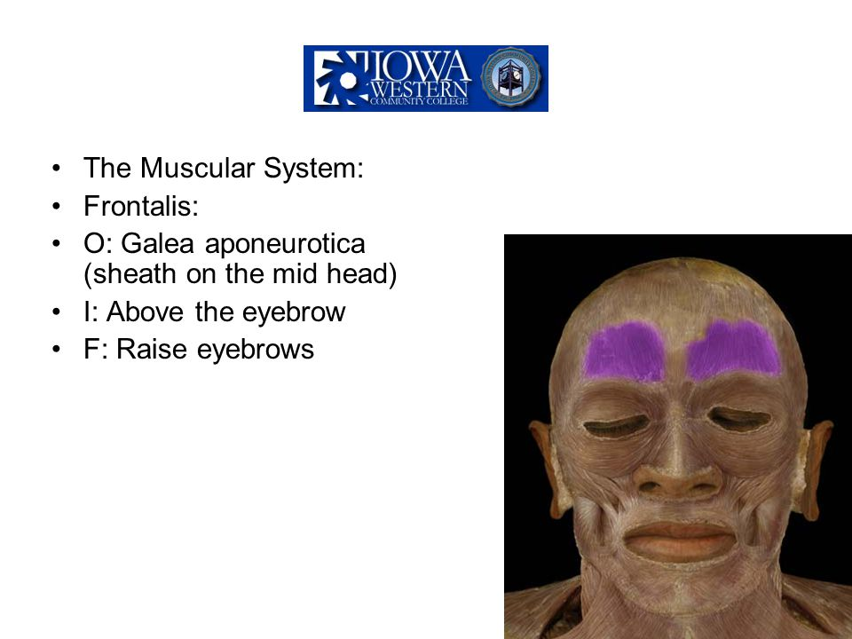 The Muscular System: Frontalis: O: Galea aponeurotica (sheath on the mid head) I: Above the eyebrow.