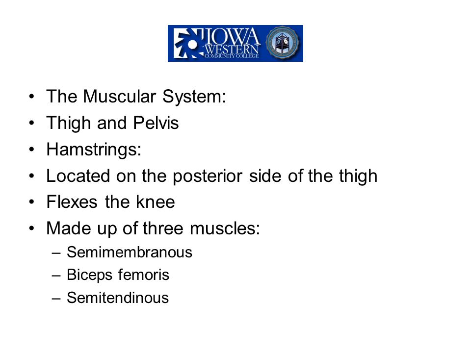 Located on the posterior side of the thigh Flexes the knee