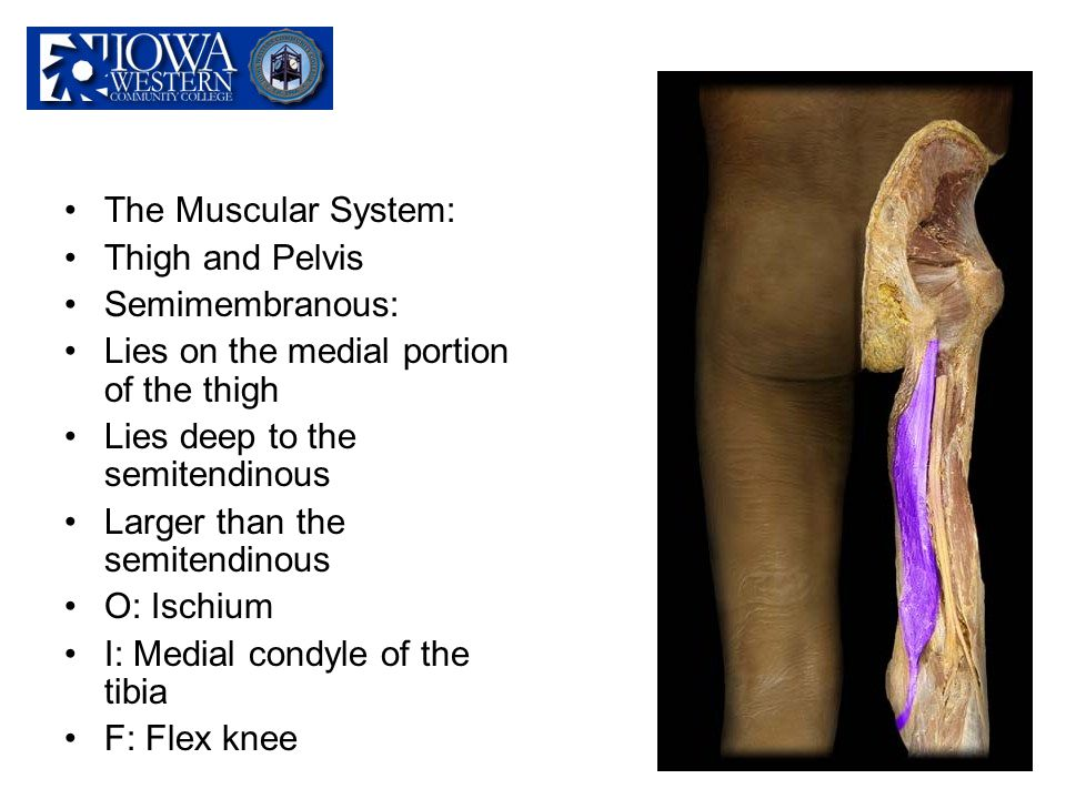 The Muscular System: Thigh and Pelvis. Semimembranous: Lies on the medial portion of the thigh. Lies deep to the semitendinous.