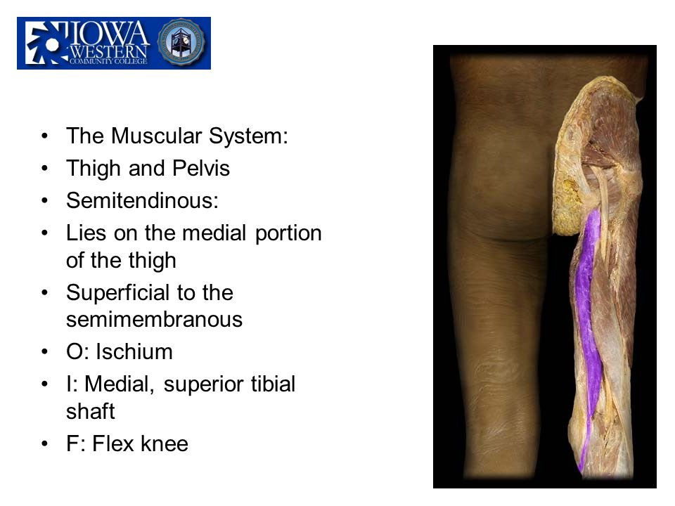 The Muscular System: Thigh and Pelvis. Semitendinous: Lies on the medial portion of the thigh. Superficial to the semimembranous.