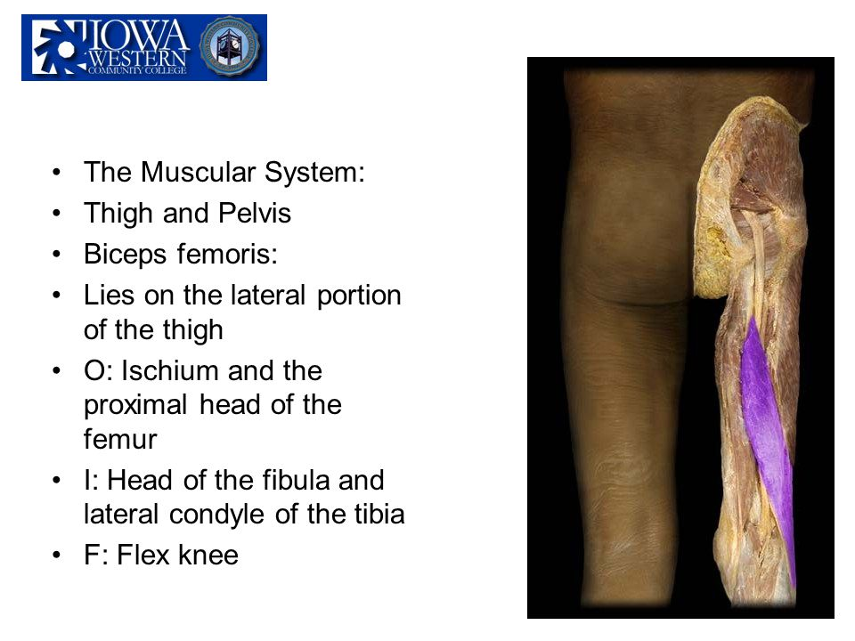 The Muscular System: Thigh and Pelvis. Biceps femoris: Lies on the lateral portion of the thigh. O: Ischium and the proximal head of the femur.