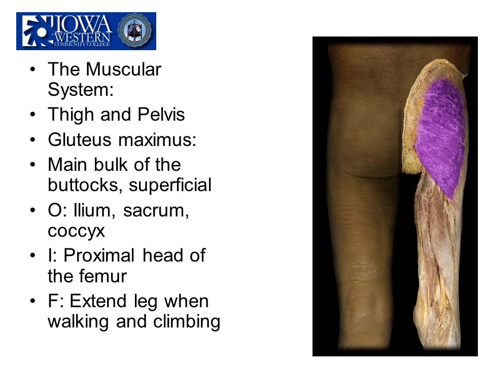 The Muscular System: Thigh and Pelvis. Gluteus maximus: Main bulk of the buttocks, superficial. O: Ilium, sacrum, coccyx.