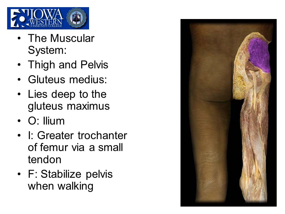 The Muscular System: Thigh and Pelvis. Gluteus medius: Lies deep to the gluteus maximus. O: Ilium.