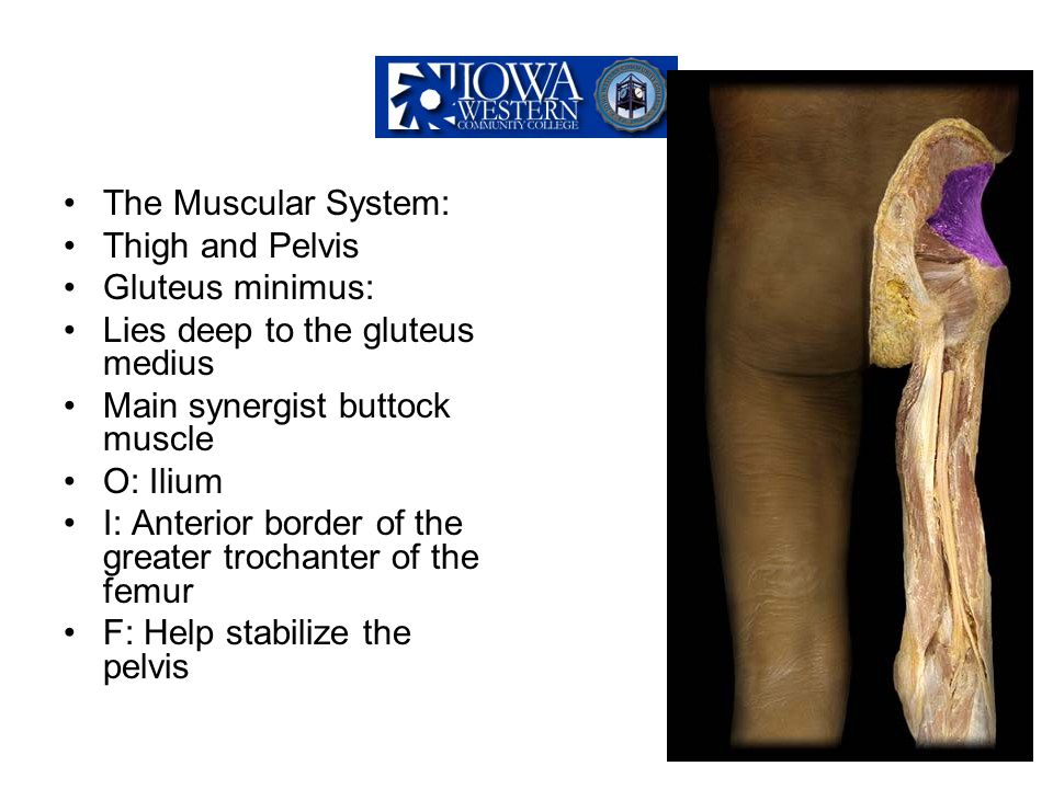 The Muscular System: Thigh and Pelvis. Gluteus minimus: Lies deep to the gluteus medius. Main synergist buttock muscle.