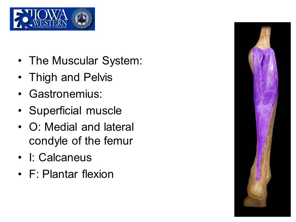 The Muscular System: Thigh and Pelvis. Gastronemius: Superficial muscle. O: Medial and lateral condyle of the femur.