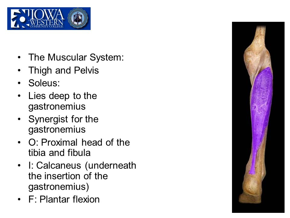 The Muscular System: Thigh and Pelvis. Soleus: Lies deep to the gastronemius. Synergist for the gastronemius.