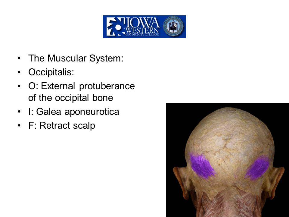 The Muscular System: Occipitalis: O: External protuberance of the occipital bone. I: Galea aponeurotica.