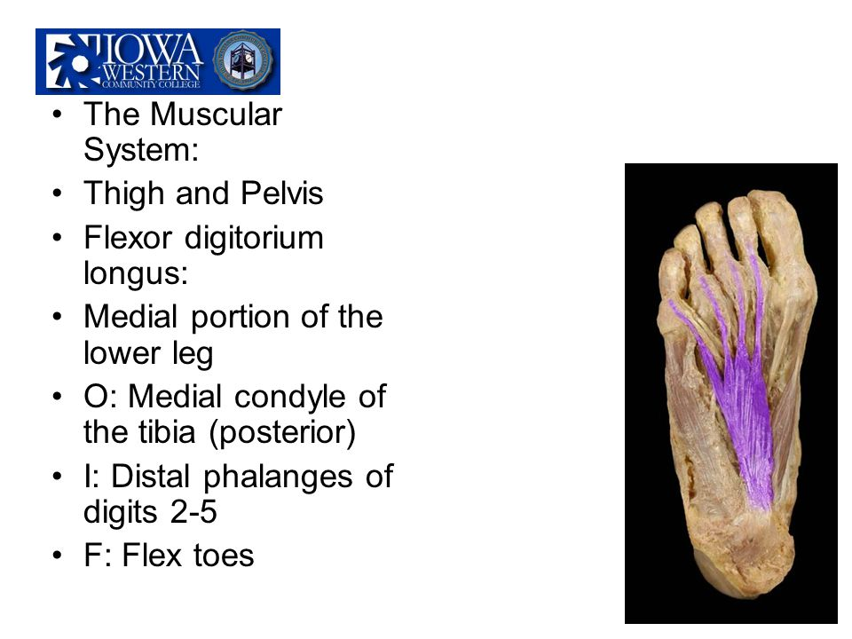 The Muscular System: Thigh and Pelvis. Flexor digitorium longus: Medial portion of the lower leg.