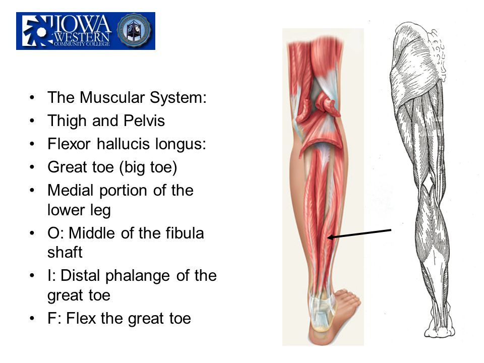 The Muscular System: Thigh and Pelvis. Flexor hallucis longus: Great toe (big toe) Medial portion of the lower leg.