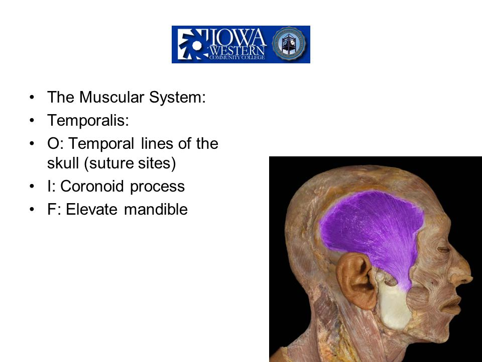 The Muscular System: Temporalis: O: Temporal lines of the skull (suture sites) I: Coronoid process.