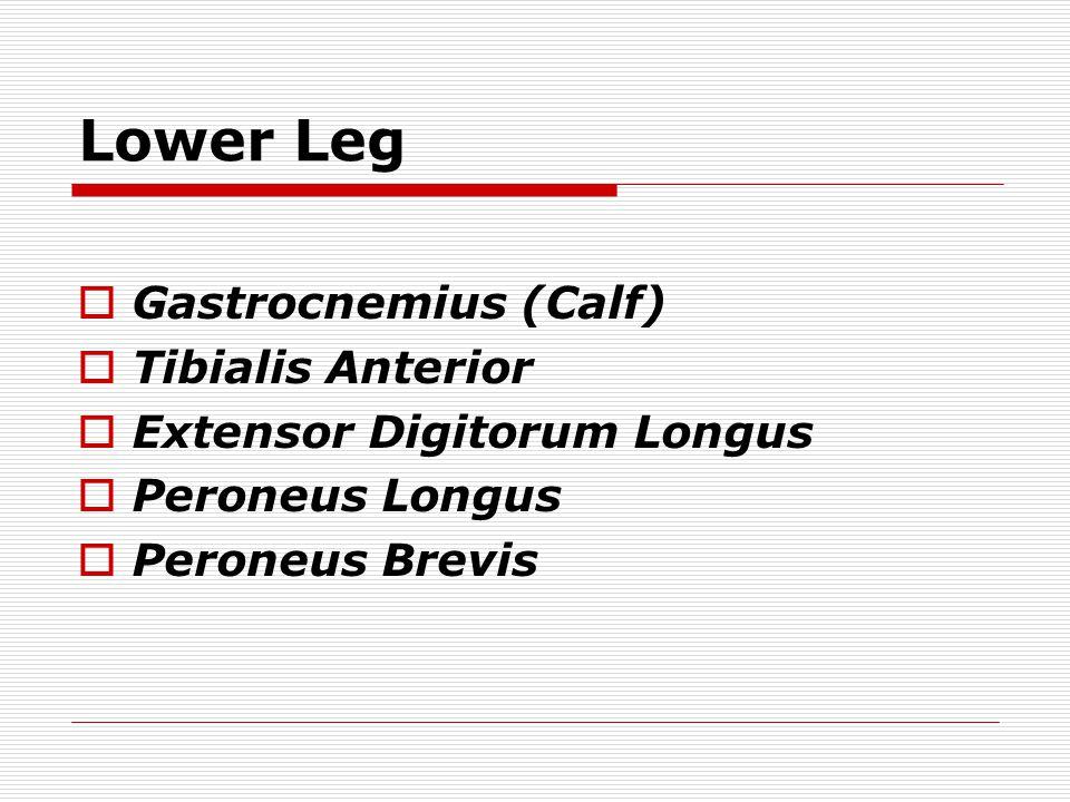 Lower Leg Gastrocnemius (Calf) Tibialis Anterior
