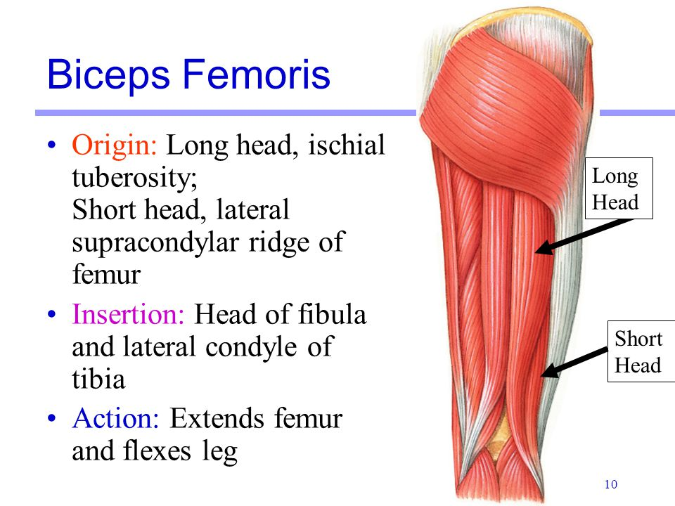 Biceps Femoris Origin: Long head, ischial tuberosity; Short head, lateral supracondylar ridge of femur.