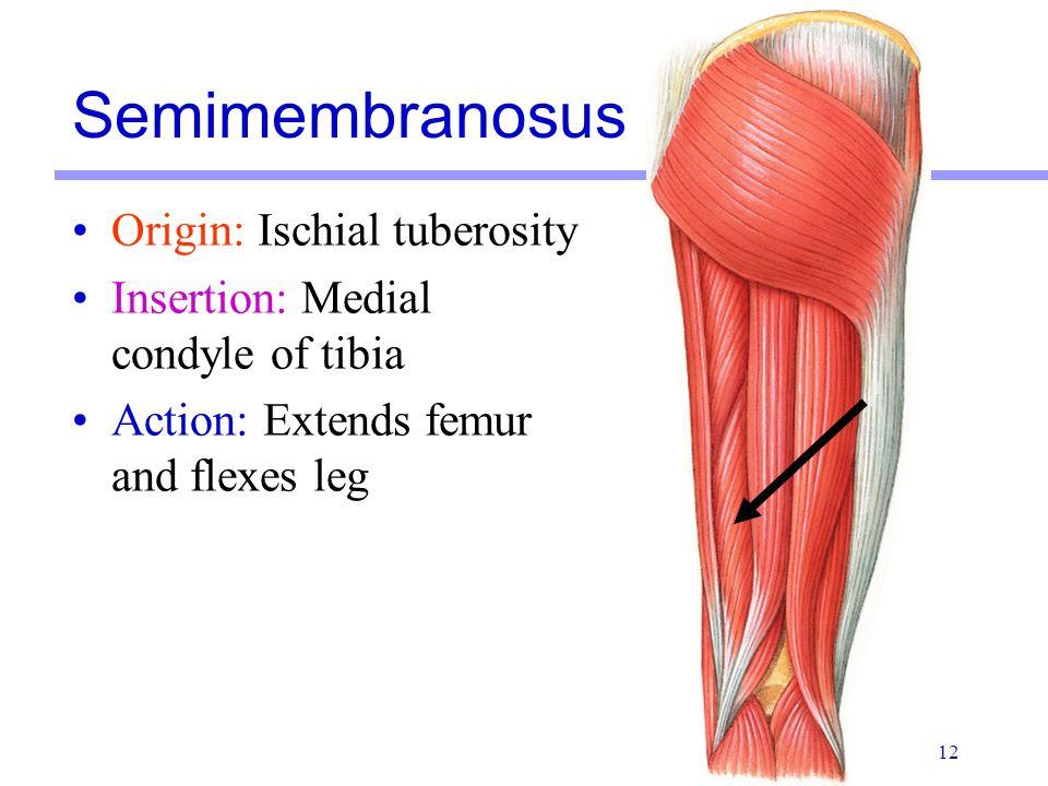 Semimembranosus Origin: Ischial tuberosity