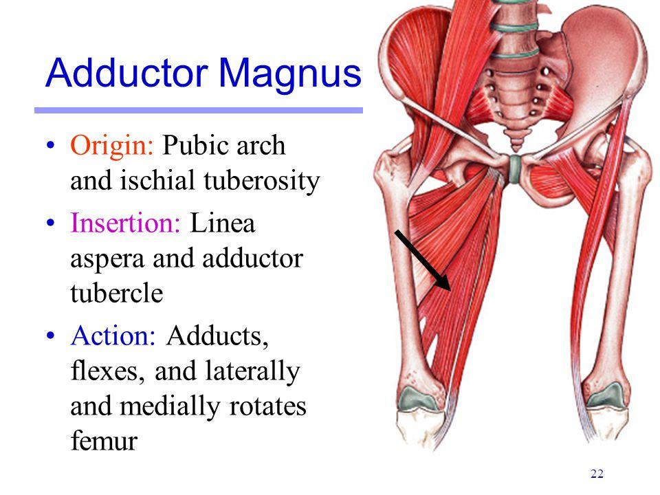 Adductor Magnus Origin: Pubic arch and ischial tuberosity