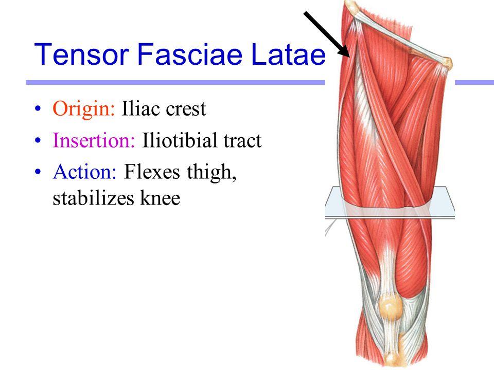 Tensor Fasciae Latae Origin: Iliac crest Insertion: Iliotibial tract