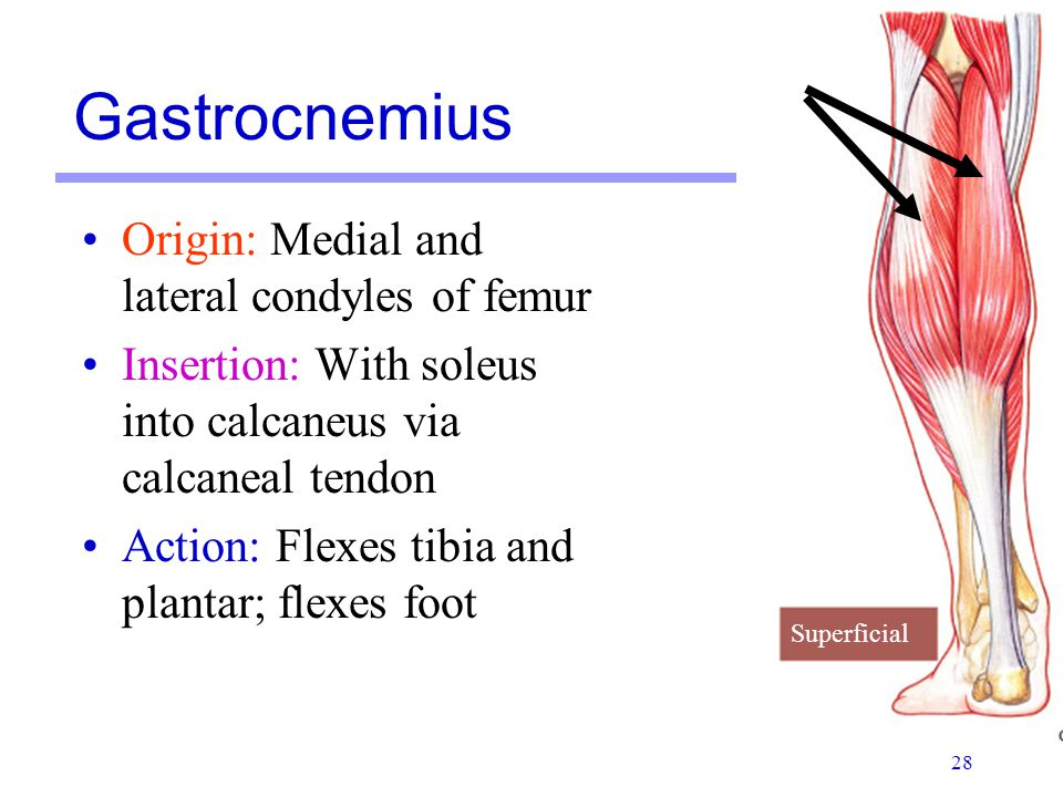Gastrocnemius Origin: Medial and lateral condyles of femur
