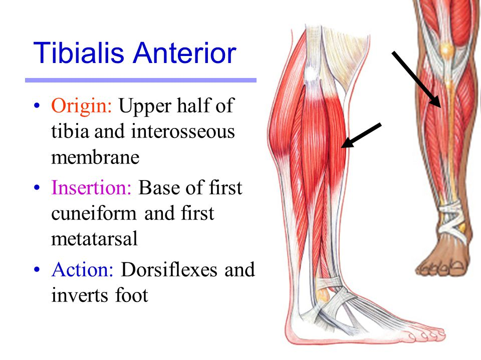 Tibialis Anterior Origin: Upper half of tibia and interosseous membrane. Insertion: Base of first cuneiform and first metatarsal.