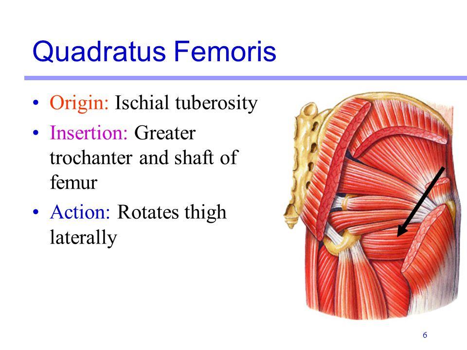 Quadratus Femoris Origin: Ischial tuberosity