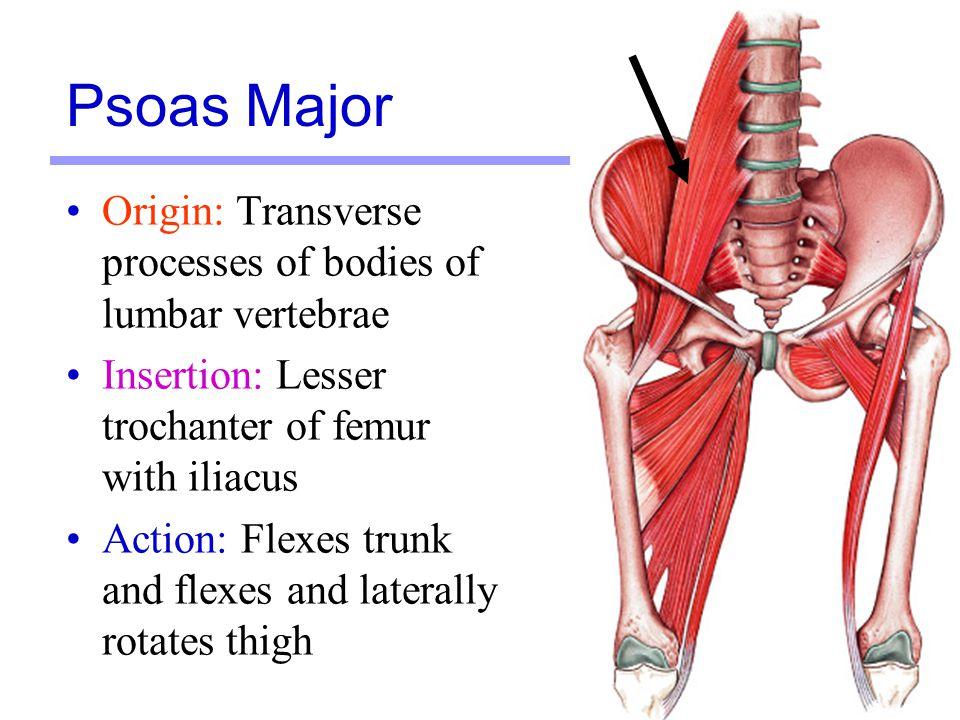 Psoas Major Origin: Transverse processes of bodies of lumbar vertebrae