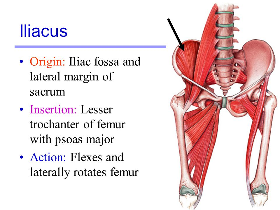 Iliacus Origin: Iliac fossa and lateral margin of sacrum