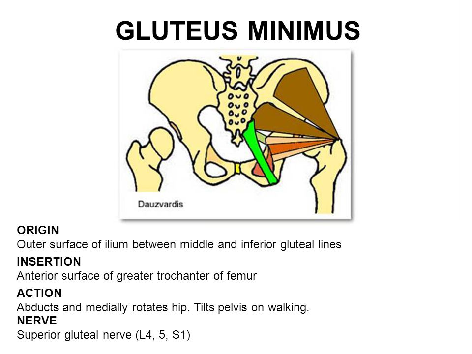 GLUTEUS MINIMUS ORIGIN Outer surface of ilium between middle and inferior gluteal lines. INSERTION Anterior surface of greater trochanter of femur.