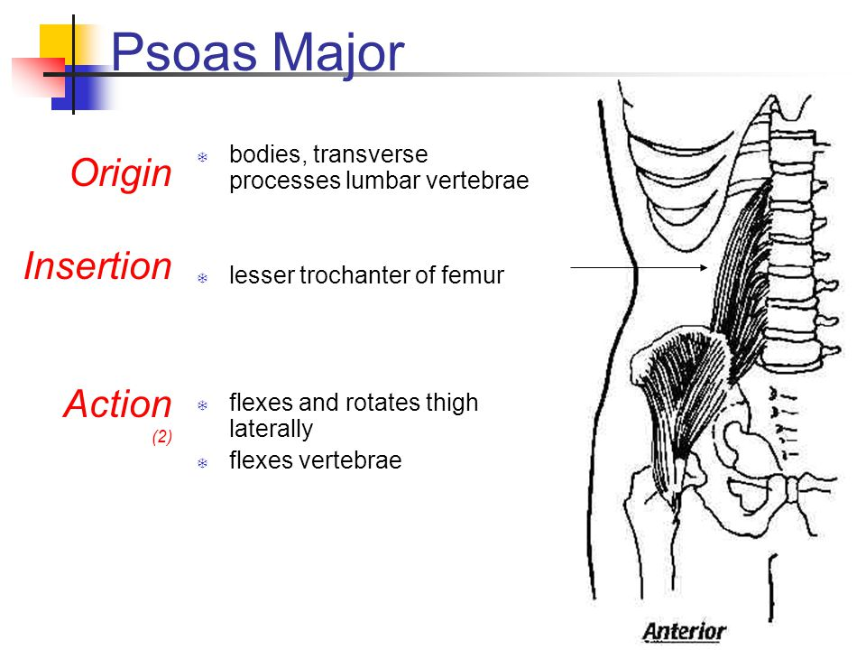 Psoas Major Origin Insertion Action