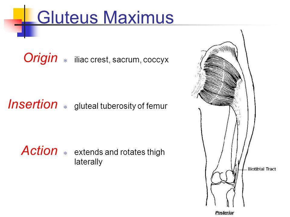 Gluteus Maximus Origin Insertion Action iliac crest, sacrum, coccyx