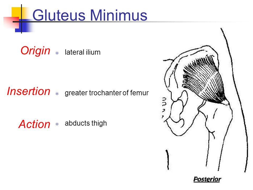 Gluteus Minimus Origin Insertion Action lateral ilium