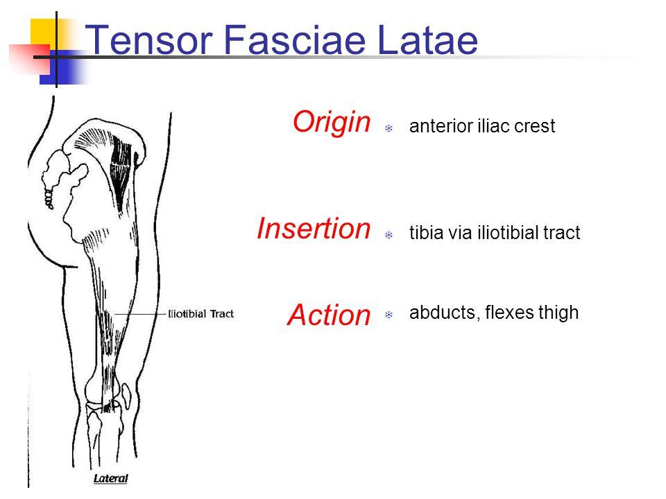 Tensor Fasciae Latae Origin Insertion Action anterior iliac crest