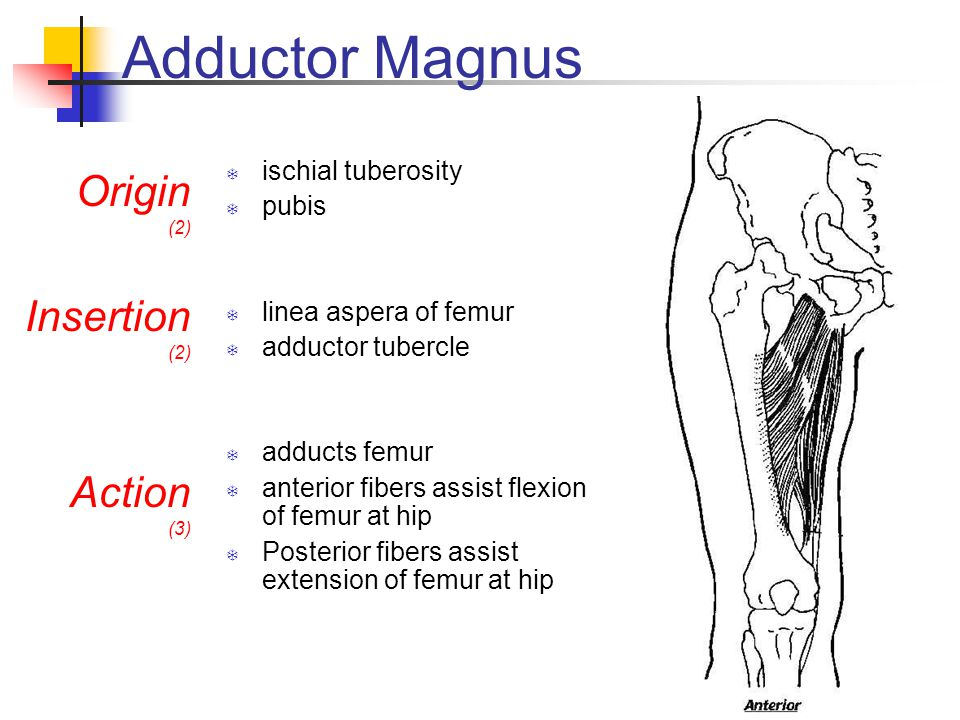 Adductor Magnus Origin Insertion Action ischial tuberosity pubis