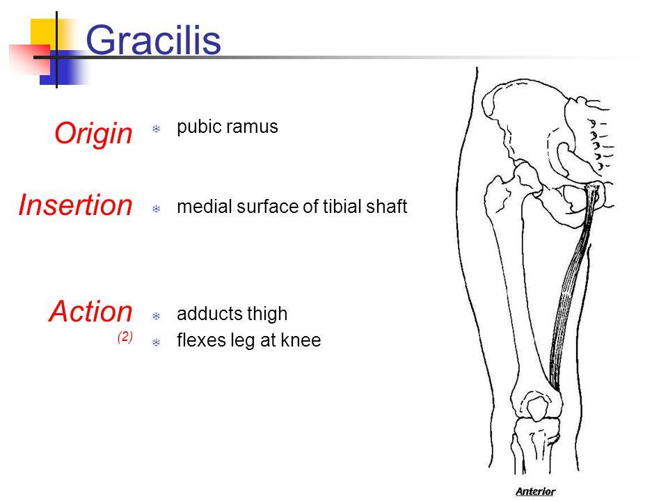 Gracilis Origin Insertion Action pubic ramus