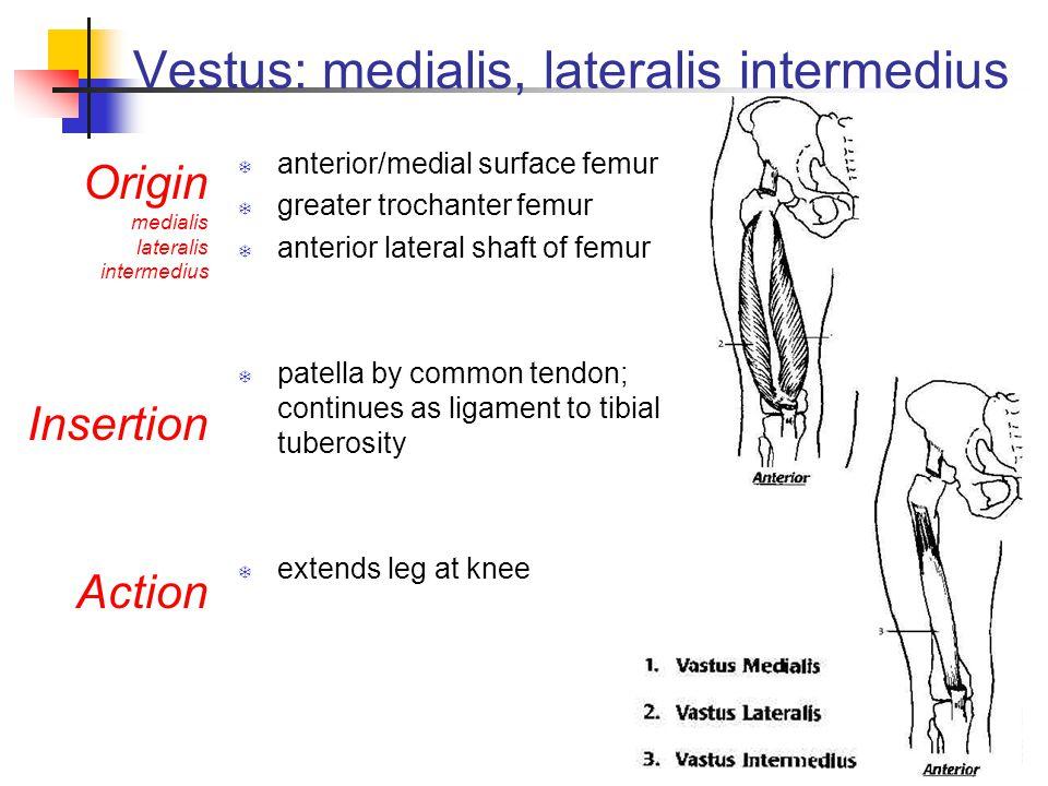 Vestus: medialis, lateralis intermedius