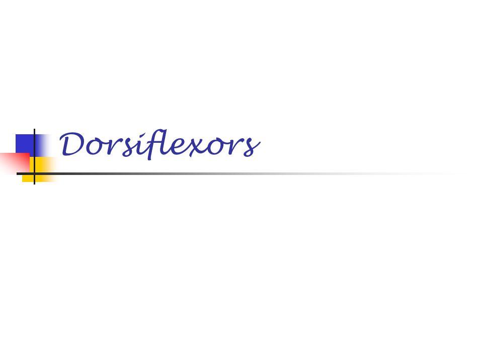 Dorsiflexors