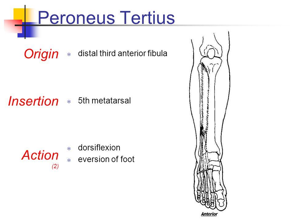 Peroneus Tertius Origin Insertion Action distal third anterior fibula