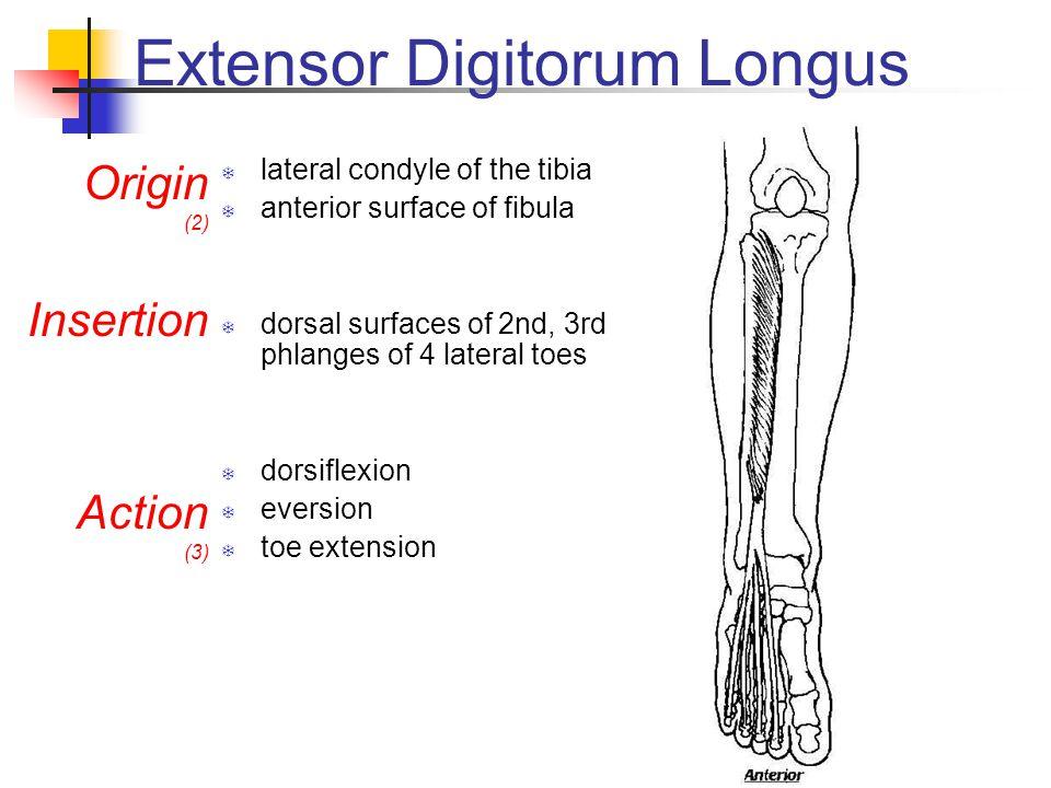Extensor Digitorum Longus