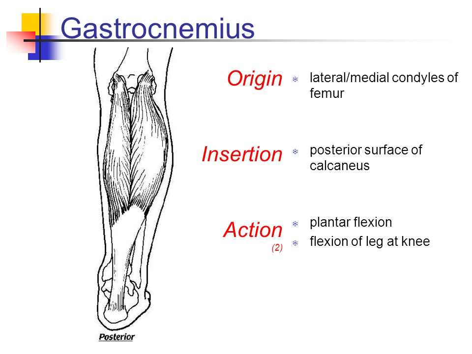 Gastrocnemius Origin Insertion Action lateral/medial condyles of femur