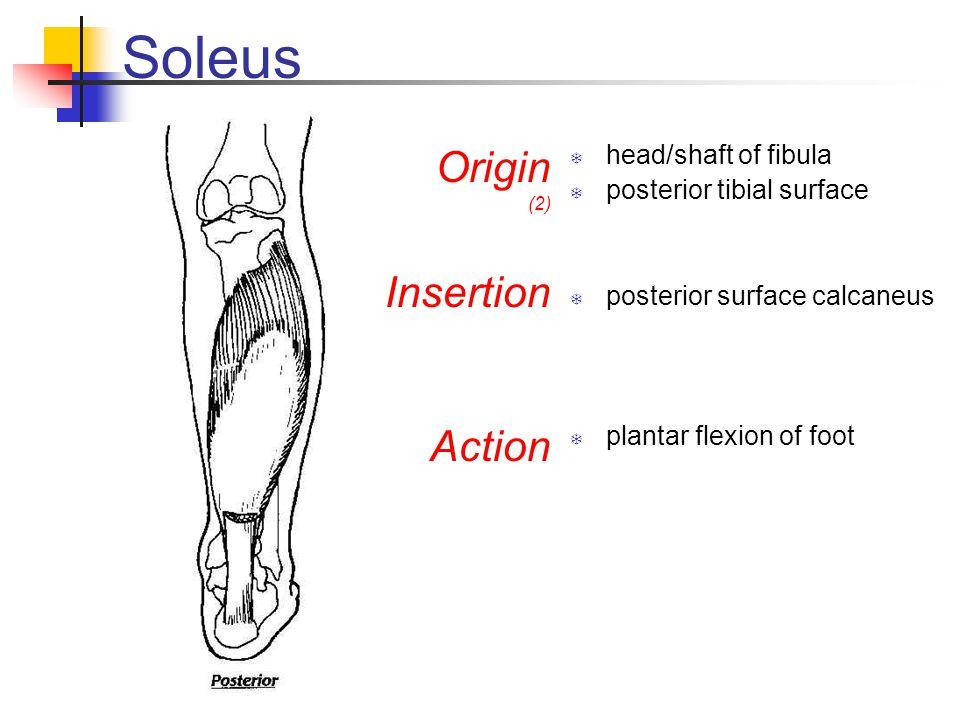Soleus Origin Insertion Action head/shaft of fibula